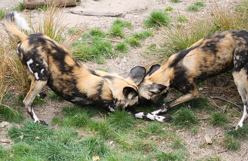 Male Dogs Fight Over Food